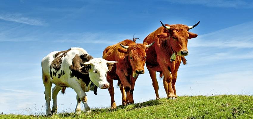 ветеринарная спб крупный скот: