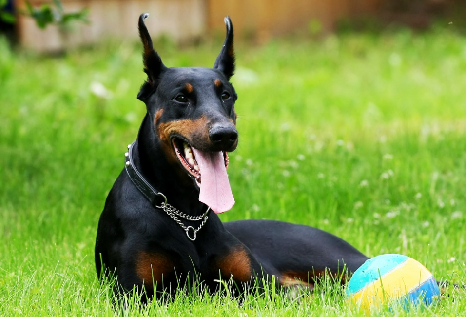 http://tsamax.su/cache/multithumb_thumbs/b_0_650_00___images_dogs_doberman-pinscher-2.jpg