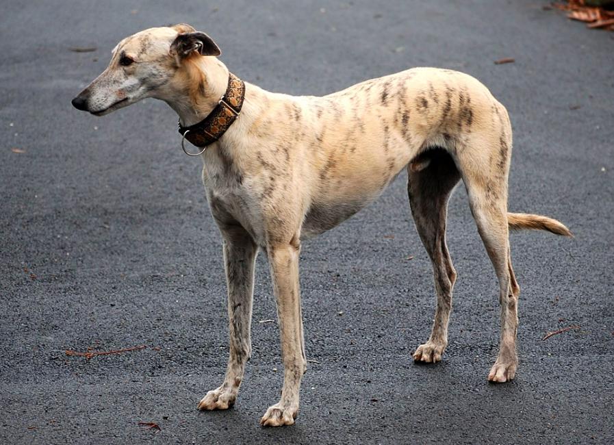 Грейхаунд, или большая английская борзая - Страница 17 B_0_650_00___images_dogs_greyhaund-1