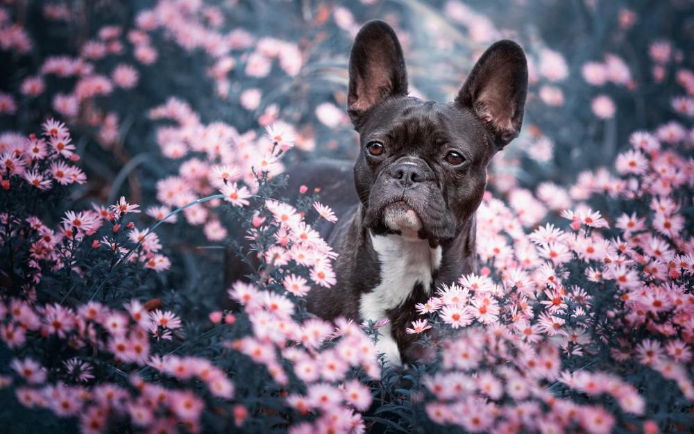 Проблемы у собак старше 7 лет. С возрастом кожа собак становится тоньше и суше. Не купайте своего пожилого французского бульдога слишком часто, иначе вы еще больше пересушите ее.
