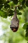 У летучей мыши язык больше длины тела на 50%