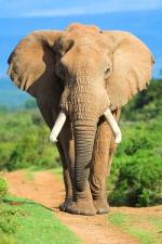 Самые длинные бивни у африканского слона