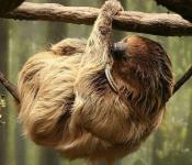 Ленивец - самое медленное млекопитающее