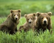 Самый известный соня – медведь