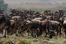 Массовая миграция антилоп гну