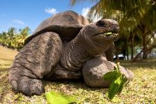 Исполинских черепах с Сейшельских островов - самая медленная черепаха