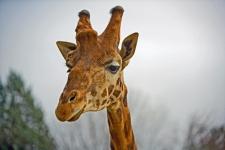 Жираф может высунуть язык на 45 см