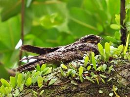 Птица козодой - обзор может достигать 360 градусов