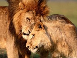 У львов тоже есть любовь