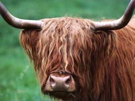 Зрение у быков дихроматическое. Они не отличают зеленый от красного