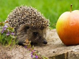 Ежик в яблоках