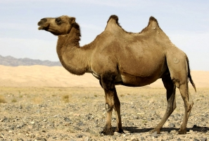 Верблюд и два жировых горба