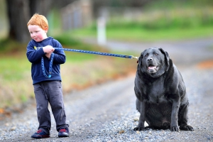Мальчик тянет большую толстую собаку