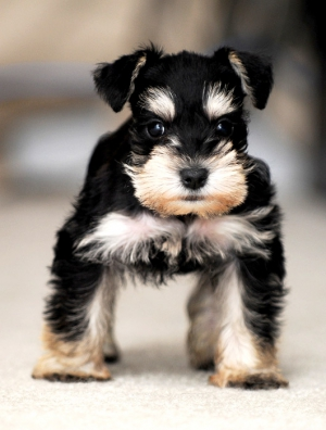 Серьезный щенок цвергшнауцера