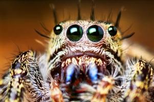 Паук скакун - лучшее зрение среди пауков