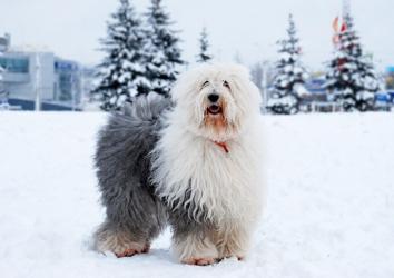 Бобтейл зимой