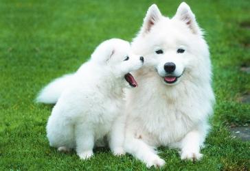 Самоед и щенок