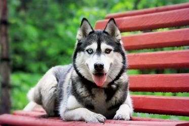 Сибирский хаски с разноцветными глазами