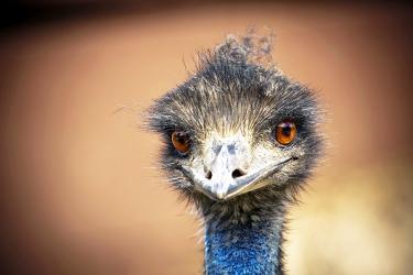 Красавчик страус