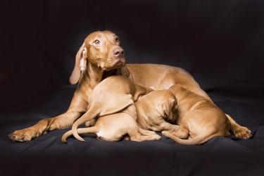 Выжла (венгерская короткошерстная легавая) и щенки