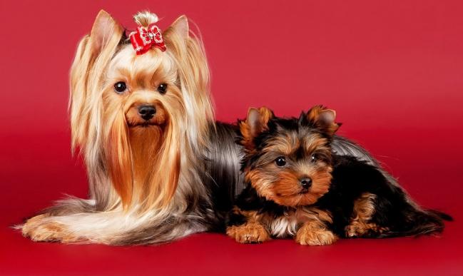 Йоркширский терьер и его щенок