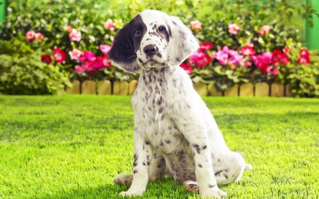 Очаровательный щенок английского сеттера