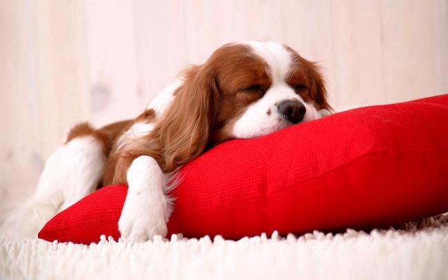 Щенок той-спаниеля сладко спит