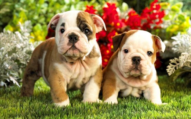Два очаровательных щенка французского бульдога