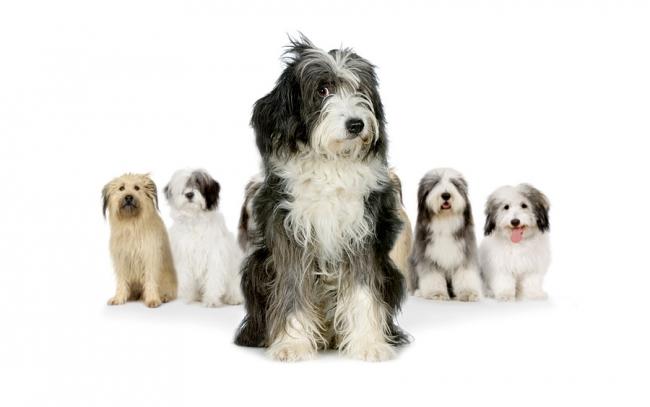 Длинношерстные немного лохматые собаки