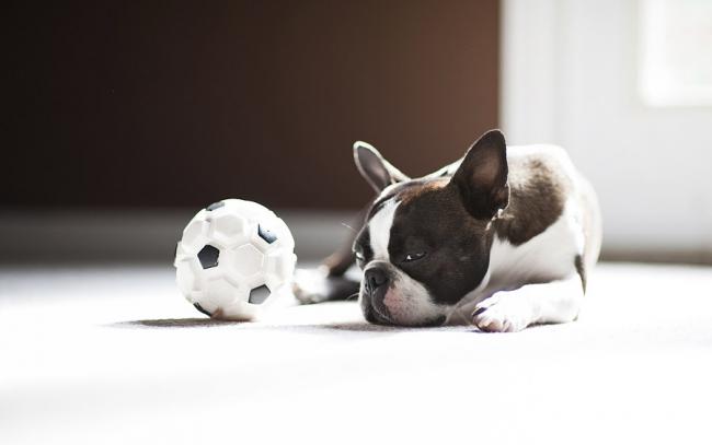 Маленький французский бульдог играет с мячом