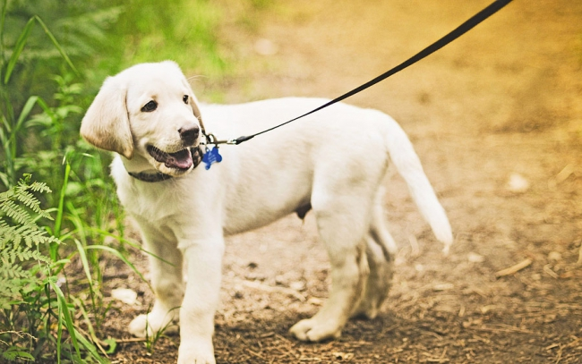 Приучить щенка к поводку совсем не трудно