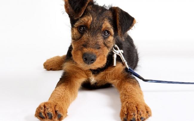 Игривый щенок эрдельтерьера