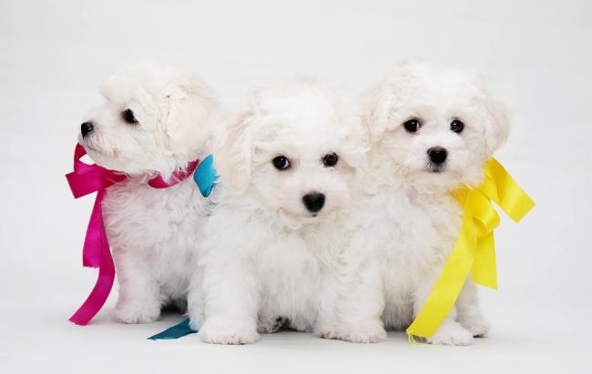 Три очаровательных щенка бишон фризе