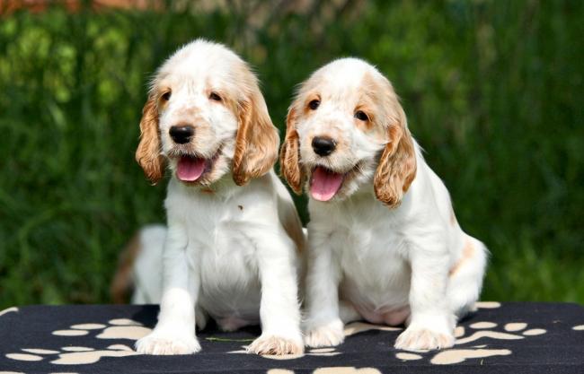 Два милых щенка кокер-спаниеля