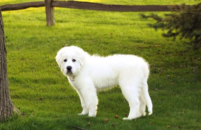 Щенок большой пиренейской собаки