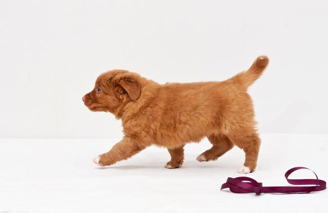 Очаровательный щенок новошотландского ретривера