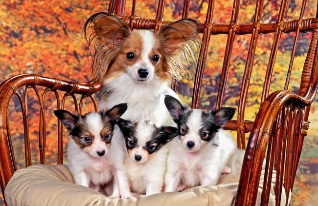 Папильон и щенки