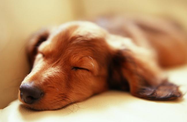 Такса спит