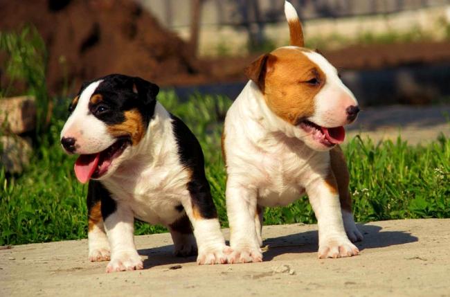 Два веселых щенка бультерьера