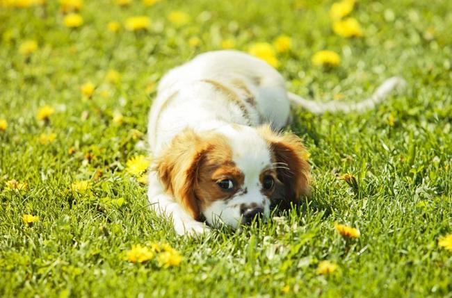 Игривый щенок кавалер-кинг-чарльз-спаниеля
