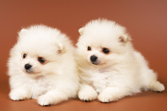 Два милых щенка померанского шпица