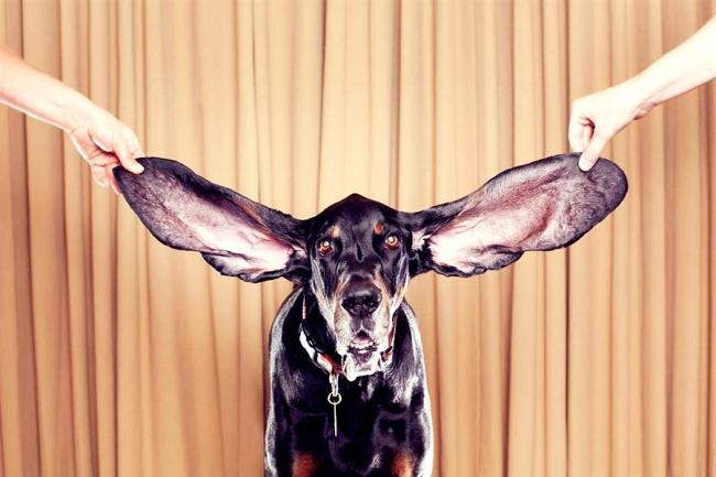 Уход за ушами собаки обязателен