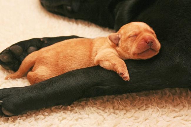 Забота о новорожденных щенках