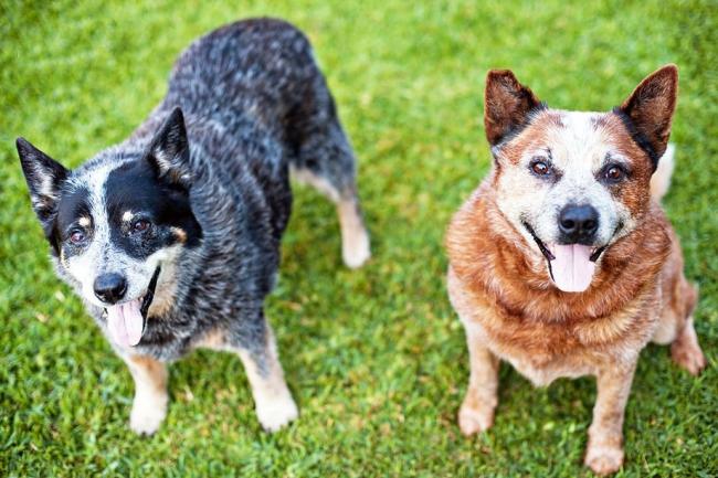 Австралийский хилер (австралийская пастушья собака)