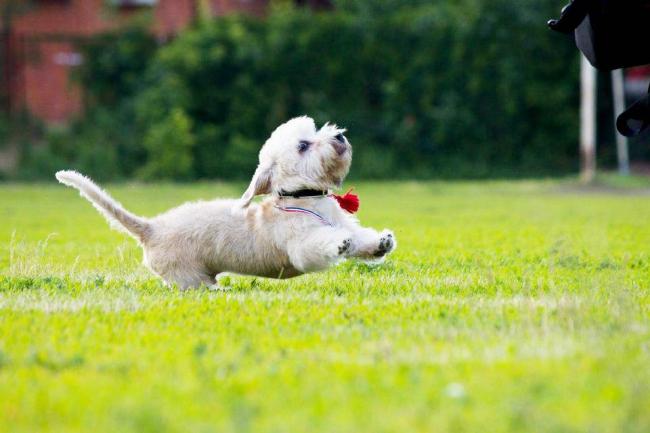 Игривый щенок денди-динмонт-терьера