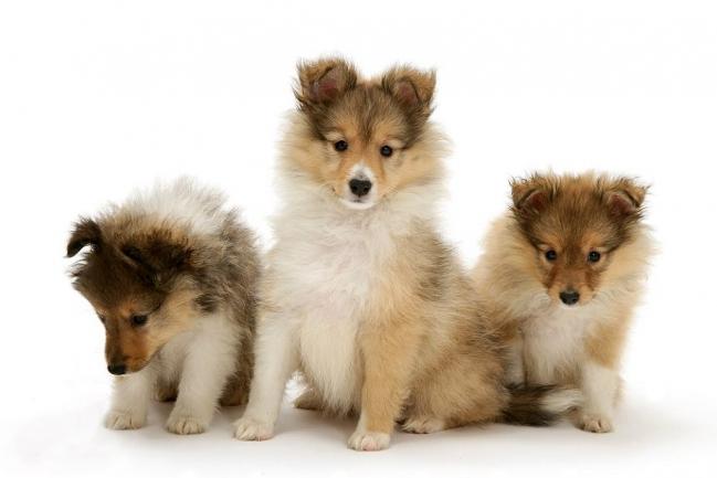 Три щенка шелти