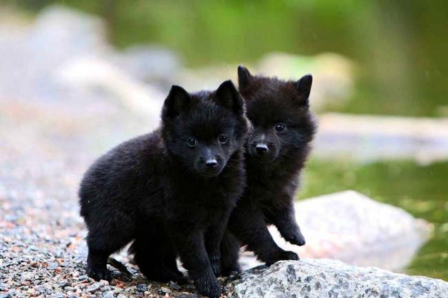 Милые щенки шипперке