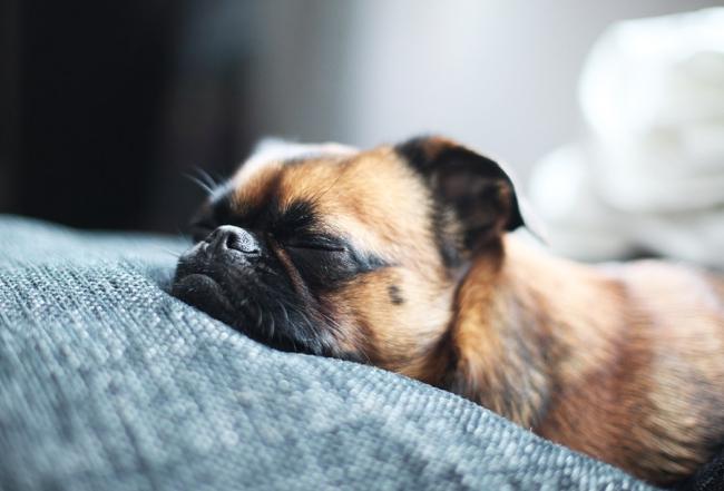 Маленький щенок мопса сладко спит