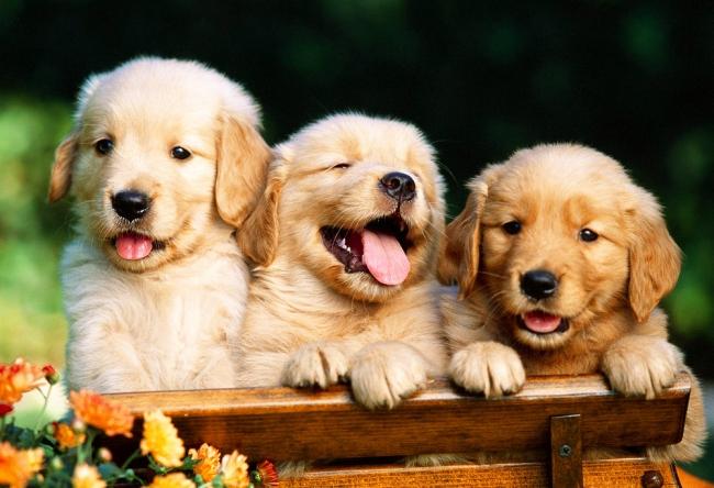 Три милых щенка голден ретривера