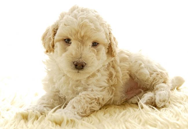 Милый щенок лаготто романьоло